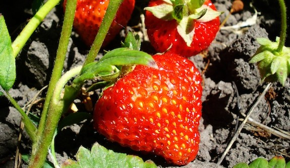 aardbeien in moestuin